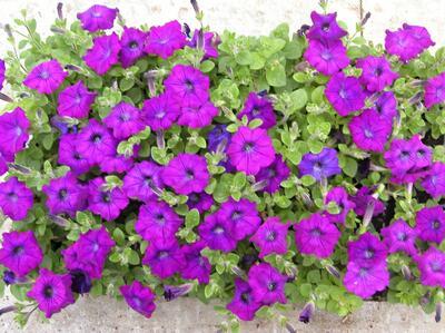 Petunia Evita Blau_1