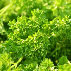 Petržel zahradní kadeřavá 'Astra' - Petroselinum crispum 'Astra'