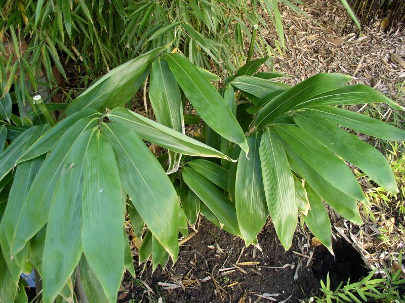 Bambus - Sasa palmata nebulosa