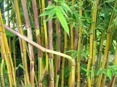 Bambus 'Spectabilis' - Phyllostachys aureosulcata 'Spectabilis'