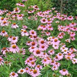 Třapatka nachová 'Papallo Classic Rose' - Echinacea purpurea 'Papallo Classic Rose'