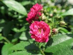 Růže pnoucí Tantau 'Perennial Blue' - Rosa PN 'Perennial Blue'