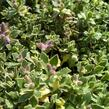 Tařička kosníkovitá 'Albovariegata' - Aubrieta deltoides 'Albovariegata'