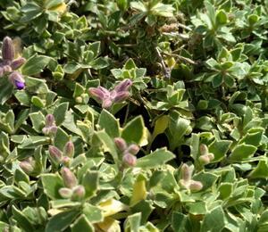 Tařička kosníkovitá 'Tauricola Silberrand' - Aubrieta deltoides 'Albovariegata'