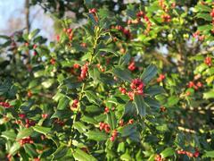 Cesmína obecná - Ilex aquifolium