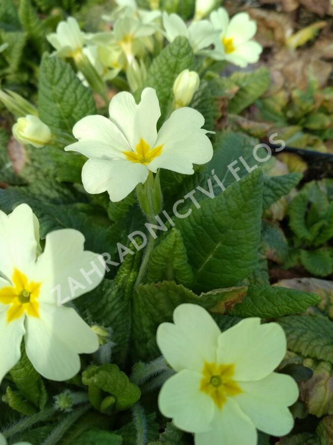 Prvosenka - Primula vulgaris