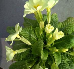 Prvosenka bezlodyžná - Primula vulgaris