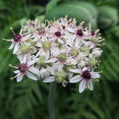Okrasný česnek 'Silver Spring' - Allium 'Silver Spring'