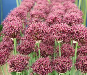 Česnek nachový - Allium atropurpureum
