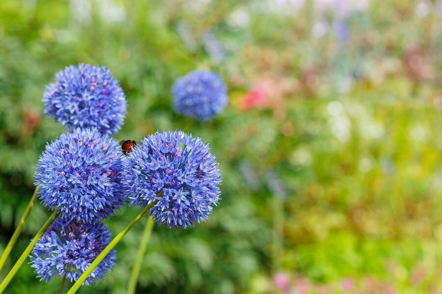 Česnek azurový - Allium caeruleum (azureum)