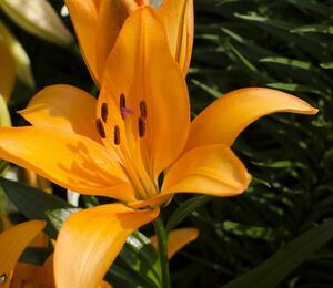Lilie 'Asiatic Appeldoorn' - Lilium 'Asiatic Appeldoorn'