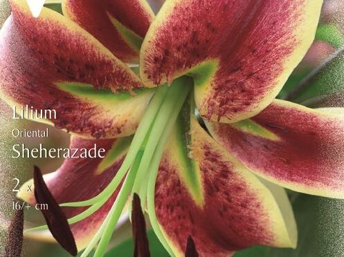 Lilie 'Oriental Sheherazade' - Lilium 'Oriental Sheherazade'