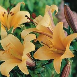 Lilie 'African Queen' - Lilium 'African Queen'