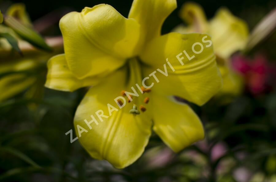 Lilie 'Trumpet Golden Splendour' - Lilium 'Trumpet Golden Splendour'