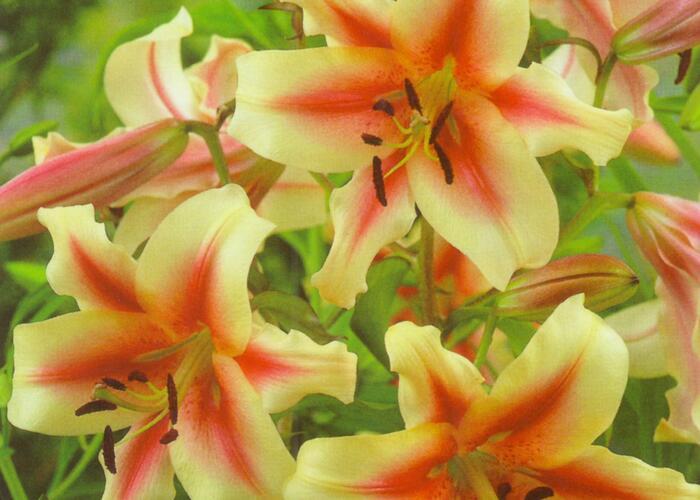 Lilie 'Treelilies Lavon ' - Lilium OT hybrids 'Treelilies Lavon '