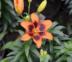Lilie 'Asiatic Loreto' - Lilium 'Asiatic Loreto'