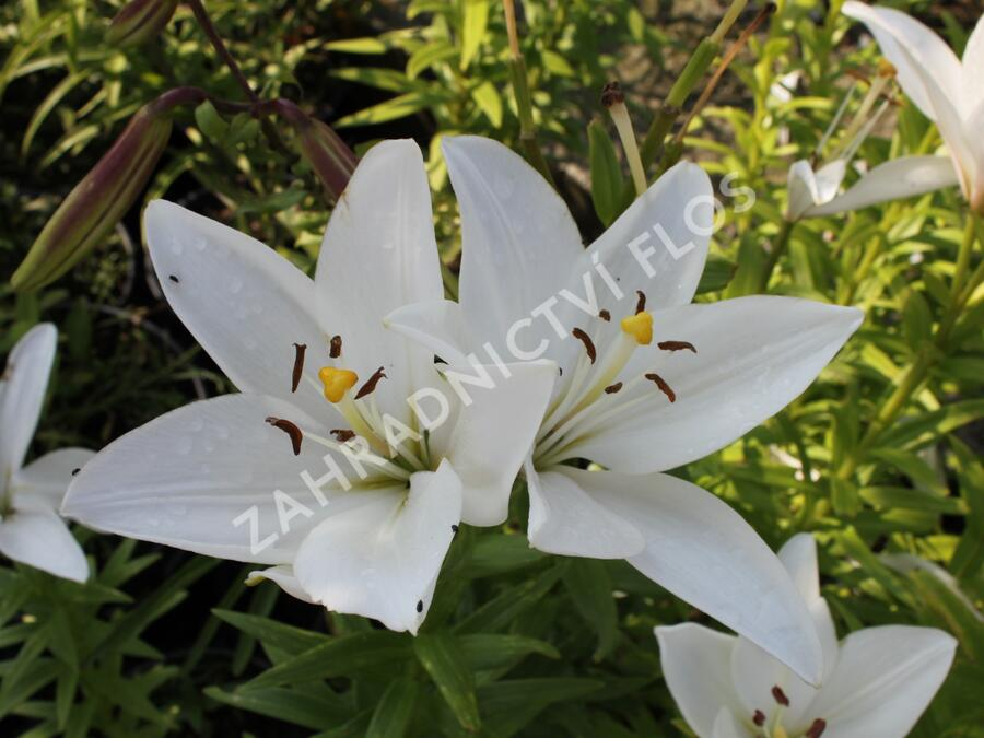 Lilie 'Oriental Mont Blanc' - Lilium 'Oriental Mont Blanc'