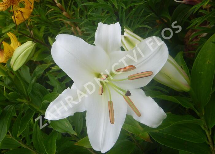 Lilie 'Oriental White' - Lilium 'Oriental White'