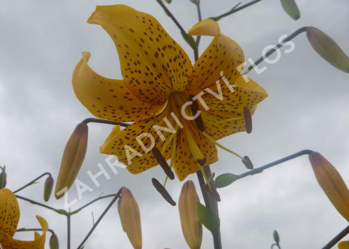 Lilie 'Asiatic Yellow Star' - Lilium 'Asiatic Yellow Star'