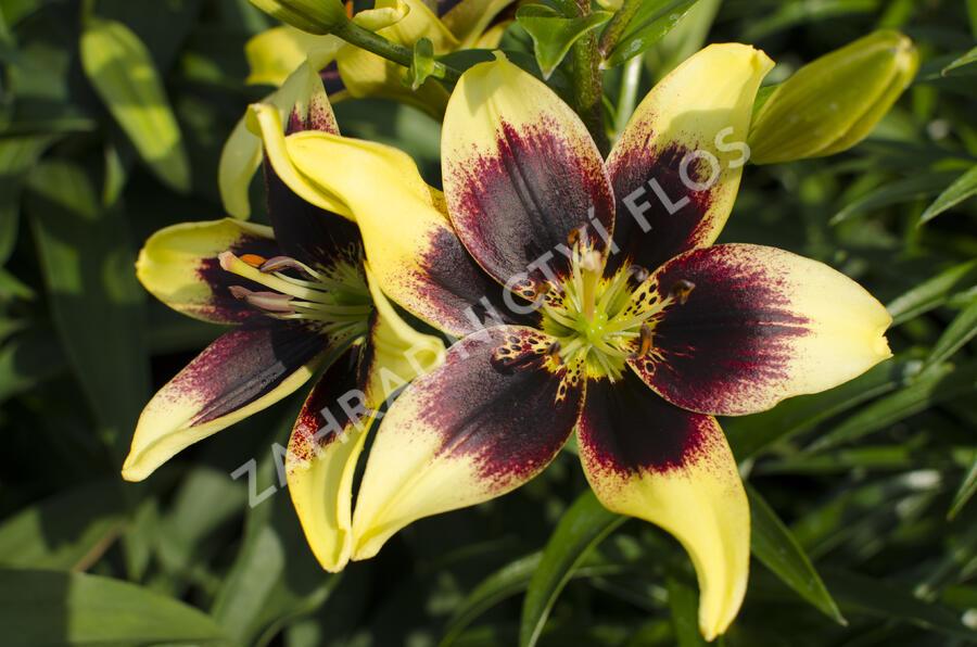 Lilie 'Asiatic Grand Cru' - Lilium 'Asiatic Grand Cru'