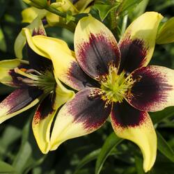 Lilie 'Asiatic Grand Cru' - Lilium 'Asiatic Grand Cru'