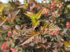 Tavola kalinolistá 'Diable d'Or' - Physocarpus opulifolius 'Diable d'Or'