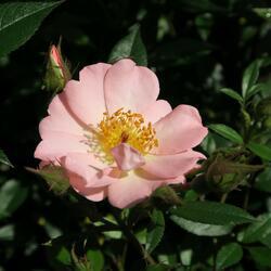 Růže pnoucí 'Open Arms' - Rosa PN 'Open Arms'