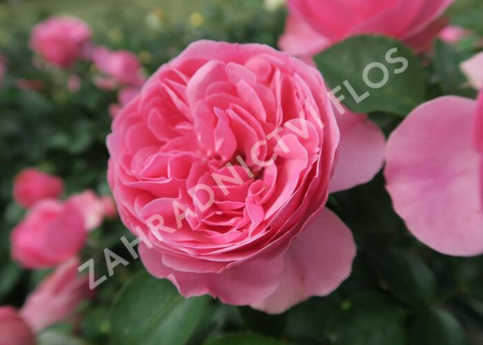 Růže mnohokvětá 'Leonardo da Vinci' - Rosa MK 'Leonardo da Vinci'