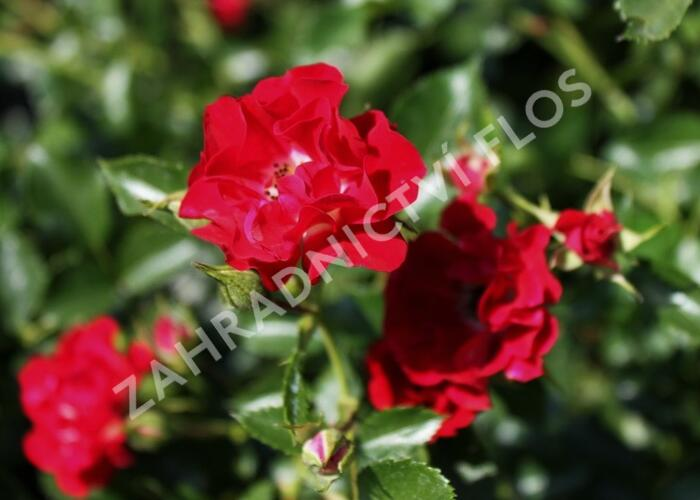 Růže pnoucí Horner 'Rambling Rosie' - Rosa PN 'Rambling Rosie'