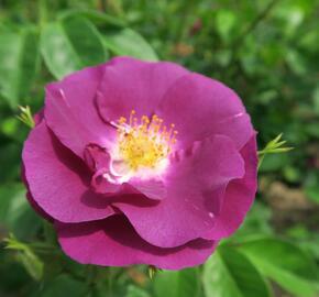 Růže parková 'Rhapsody in Blue' - Rosa S 'Rhapsody in Blue'