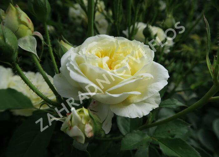 Anglická růže Davida Austina 'The Pilgrim' - Rosa S 'The Pilgrim'
