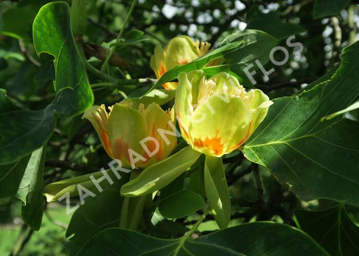 Lyriovník tulipánokvětý - Liriodendron tulipifera
