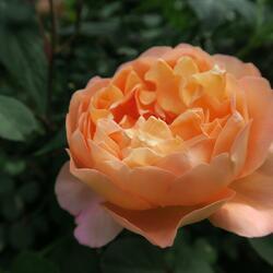 Anglická růže Davida Austina 'Lady Emma Hamilton' - Rosa S 'Lady Emma Hamilton'