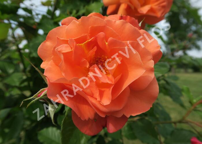 Růže pnoucí Kordes 'Westerland' - Rosa PN 'Westerland'