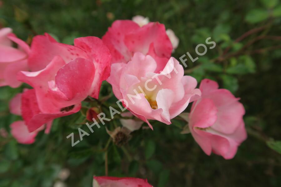 Růže mnohokvětá 'Bingo Meidiland' - Rosa MK 'Bingo Meidiland'