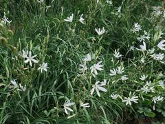 Bělozářka liliovitá - Anthericum liliago