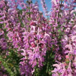 Šalvěj luční 'Rose Rhapsody' - Salvia pratensis 'Rose Rhapsody'