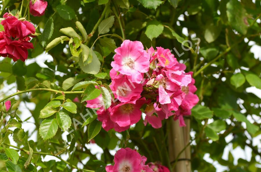 Růže pnoucí 'American Pillar' - Rosa PN 'American Pillar'