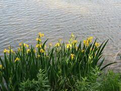Kosatec žlutý - Iris pseudacorus