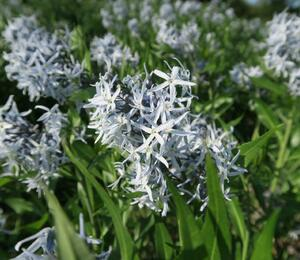 Modrá hvězda 'Blue Ice' - Amsonia tabernaemontana 'Blue Ice'