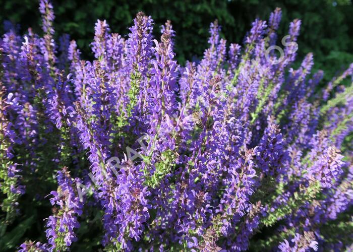 Šalvěj hajní 'Rügen' - Salvia nemorosa 'Rügen'
