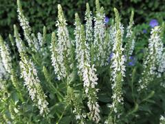 Šalvěj nádherná 'Merleau White' - Salvia superba 'Merleau White'