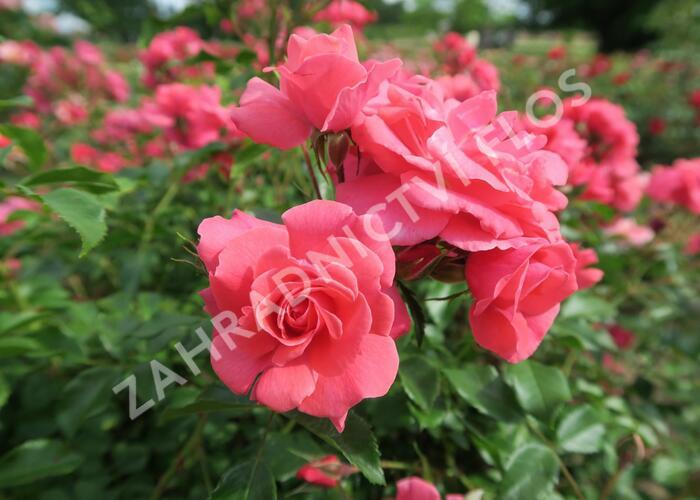 Růže mnohokvětá Kordes 'Bad Birnbach' - Rosa MK 'Bad Birnbach'