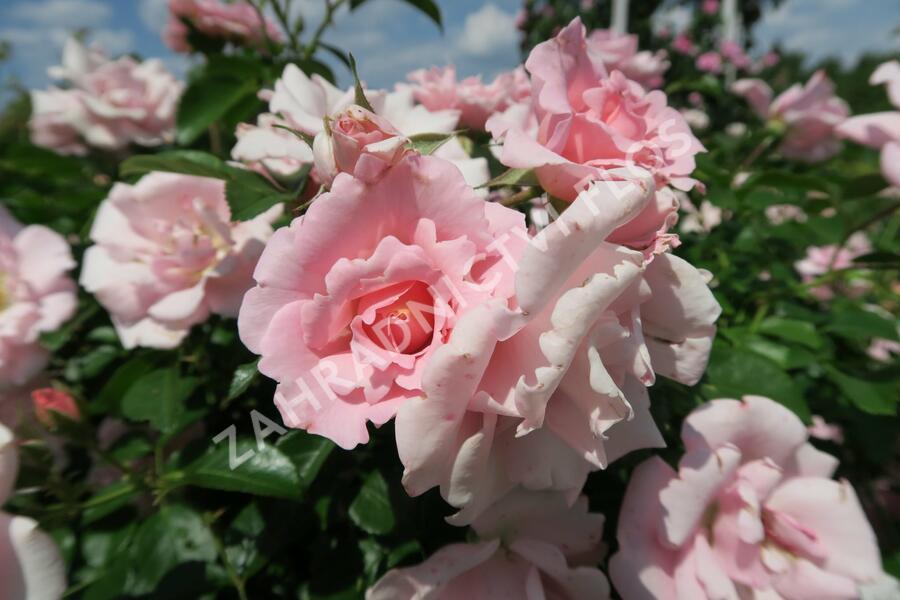 Růže mnohokvětá Kordes 'Sommerwind' - Rosa MK 'Sommerwind'