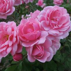 Růže mnohokvětá 'Milrose' - Rosa MK 'Milrose'