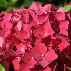 Hortenzie velkolistá 'Red Baron' - Hydrangea macrophylla 'Red Baron'