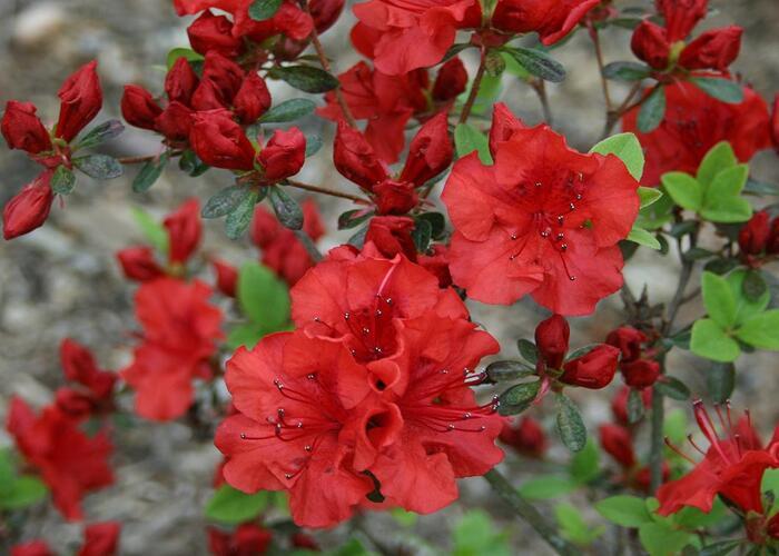 Azalka 'Red' - Azalea (KH) 'Red'