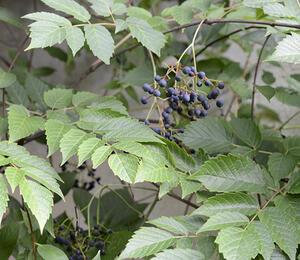 Révovník velkolistý - Ampelopsis megalophylla