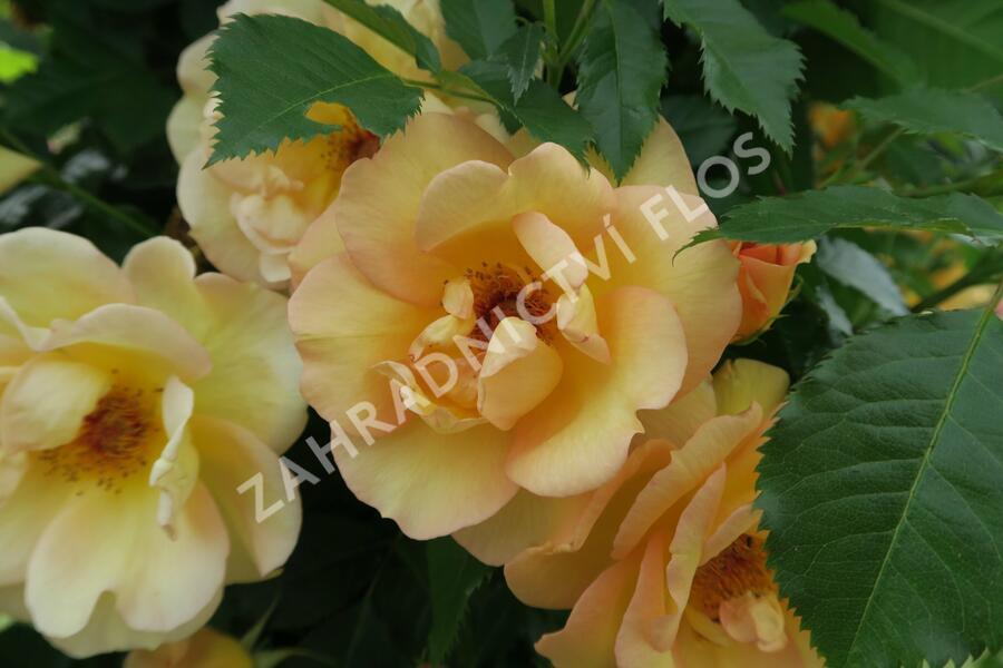 Růže pnoucí Kordes 'Maigold' - Rosa PN 'Maigold'