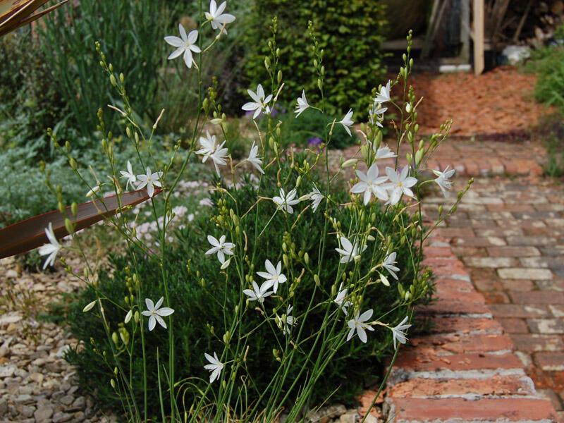 Bělozářka větevnatá - Anthericum ramosum